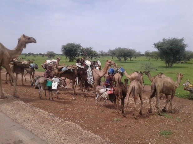 Camels - Wadi Fira region